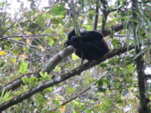 Ein Brüllaffe im Regenwald