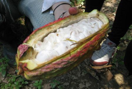 Glibberig, aber lecker - so sieht also eine geöffnete Kakaobohne aus